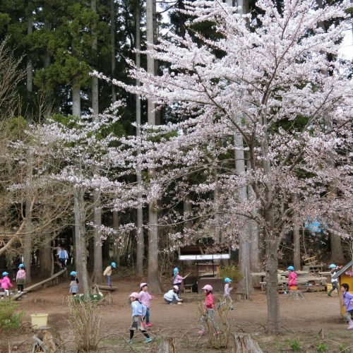 森の桜が咲きました。