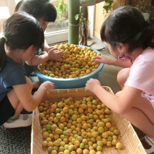 完熟梅を収穫~!!【パリス保育園】